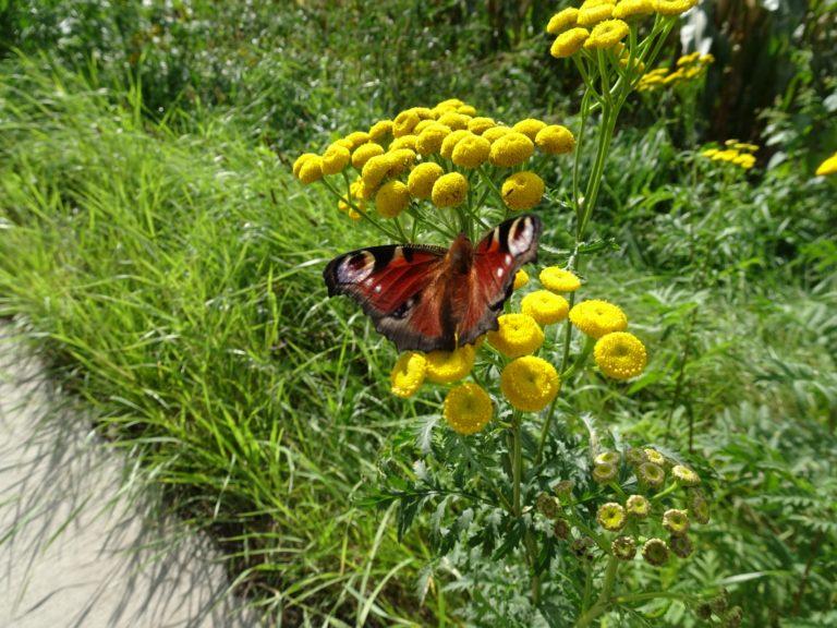 Roermond Sittart vlinder