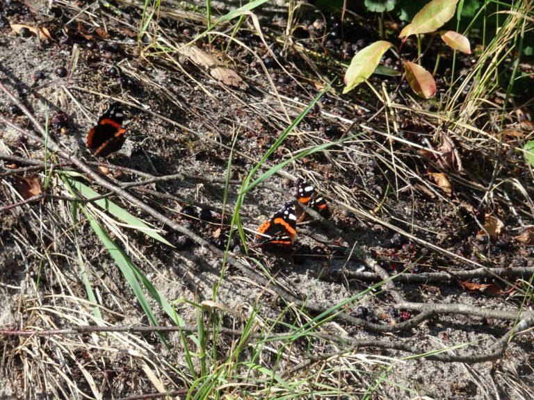vessem achel vlinders