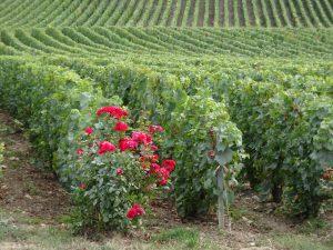 Cormontreuil naar Epernay -champagne roos