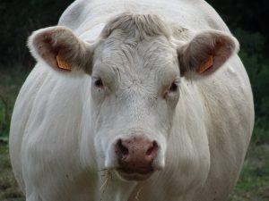 Epernay - Montmort Lucy - koe