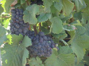 Montmort-Lucy - Sezanne, druiven