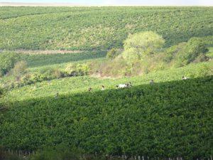 Chablis naar Accolay druivenoogst plukkers in de velden