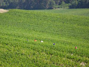 Chablis naar Accolay druivenoogst handwerk, plukkers in de velden