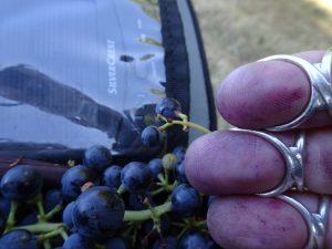 Accolay naar Châtel Censoir druif, paars sap, paarse vingers