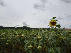Troyes naar Sommeval zonnebloem