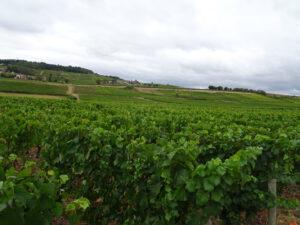 Wijngaard 2