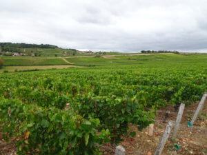 Wijngaard 3