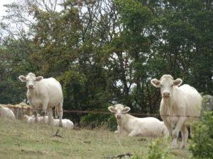 koeien onderweg Avallon naar Marigny-l'Eglise