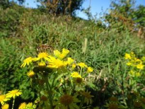 gele bloem insect Brassy naar Planchez