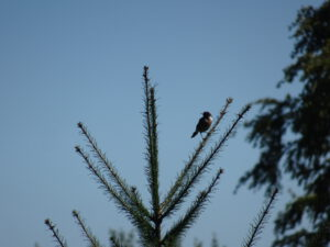 vogel kerstboom 2 Marigny-l'Eglise naar brassy