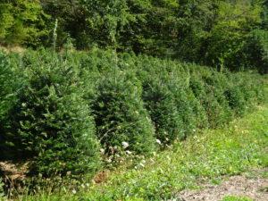 kerstbomen Brassy naar Planchez