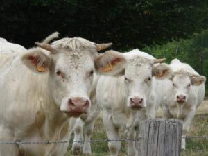 3 koeien onderweg Arleuf naar Larochemillay