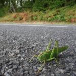 groene sprinkhaan op weg larochemillau naar Issy l'Éveque