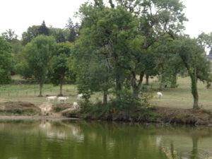 koeien en bomen  larochemillau naar Issy l'Éveque