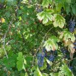 wilde druiven, lekker!