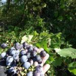 Blauwe druiven geplukt, groeide in het wild