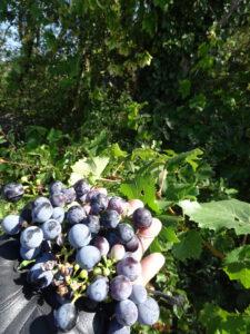 druiven in hand frankrijk